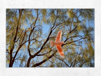 Cockatoo, Australia - Canvas 40x60