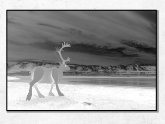 The White Reindeer, Norway - Photo Print 50x70
